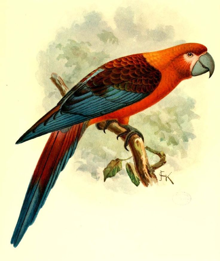 Ara D Hispaniola Ara Hispaniola Macaw Animaux éteints Animales Animaux Et Oiseaux