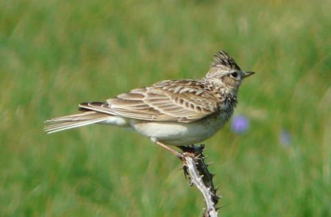 Skylark: praise from the meadow | Nature Notes from Dorset
