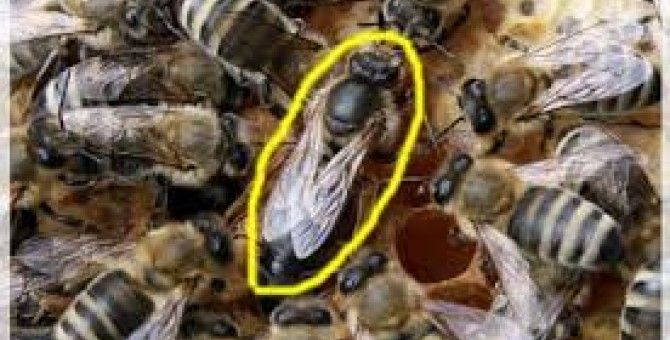honey bess are the perfect nest maker