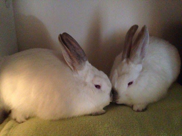 Rabbit Rescue Sanctuary: New bunnies