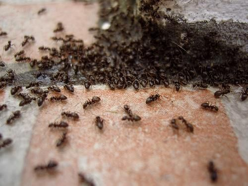 25 best ideas about fourmis maison sur pinterest anti for Anti fourmis naturel maison