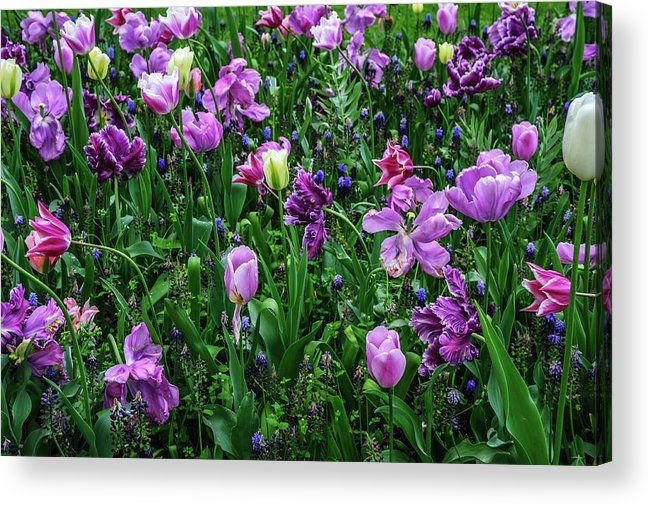 "Carpet Of Purple Tulips In Keukenhof acrylic print by Jenny Rainbow.   Bring your artwork to life with the stylish lines and added depth of an acrylic print. Your image gets printed directly onto the back of a 1/4"" thick sheet of clear acrylic. The high gloss of the acrylic sheet complements the rich colors of any image to produce stunning results.  #JennyRainbowFineArtPhotography #BuyArtOnline Tags: Tulips, Keukenhof, Botanic garden, floral art, home decor, art for home"