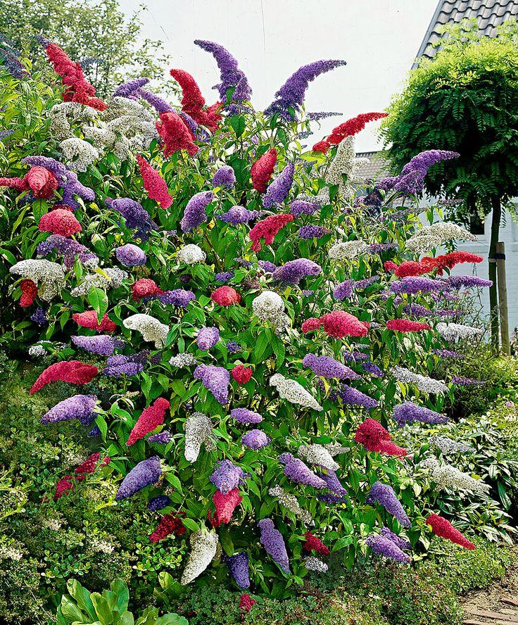 Buddleia (Butterfly Bush) - Mixed | Special Deals from Bakker Spalding Garden Company