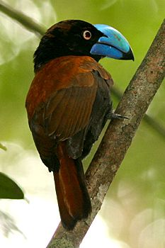 The Helmet Vanga (Euryceros prevostii) is a distinctive-looking bird of the vanga family, Vangidae, and is classified in its own genus, Euryceros.
