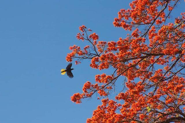 Los bucares están en flor!  Así que despega la cara de la pantalla y mira por la ventana sal a descubrir a uno de los árboles más majestuosos de nuestro país y deléitate con ese naranja intenso que colorea el horizonte.  Pero el bucare no es solo color también es un árbol de gran importancia para la #BiodiversidadUrbana porque sus flores atraen a decenas de especies de insectos que se alimentan de ellas también a aves que se alimentan de esos insectos e incluso a algunas especies como…
