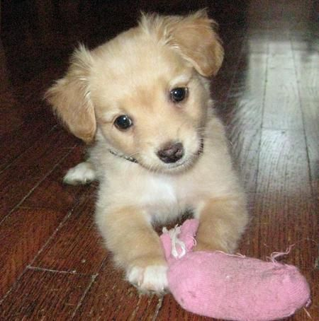 chihuahua mix breeds 1000 ideas about chihuahua mix on pinterest cutest dog 1838
