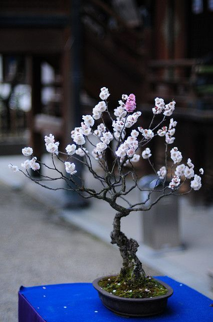 i figured out what this is! |its:  Prunus Mume (Japanese Apricot):
