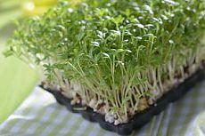 Как выращивать руколу и кресс-салат