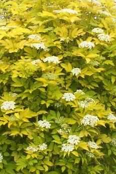 sambucus nigra aurea ou sureau commun doré pot 3L 30/50cm
