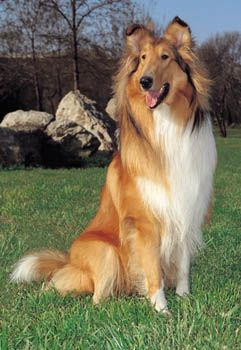 Rough Collie photo | Rough Collie (or Scottish Collie) Dog Breed Profile | PetPlanet.co.uk