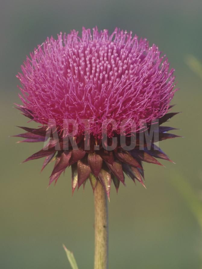 Canada Thistle Flower, Cirsium Arvense, North America Photographic Print by Arthur Morris at Art.com