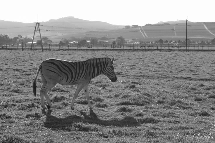 Zebra at Delheim Wine Estate in Stellenbosch, Cape Town.