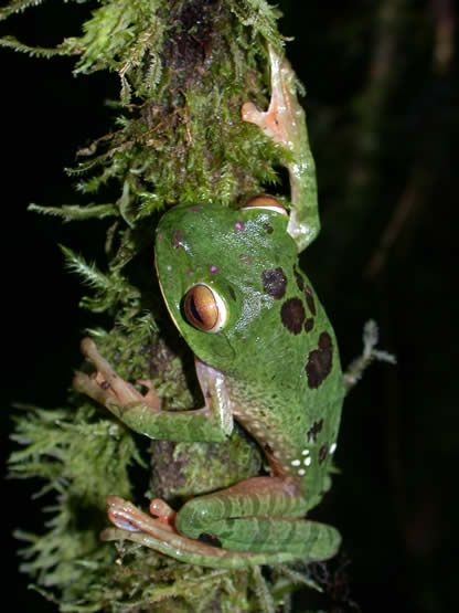 Well camouflaged green frog...