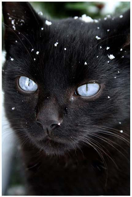 Beautiful black cat with blue eyes