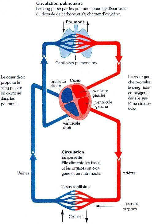 Comme dit dans le titre, le module de cardiologie est sans doute le plus difficile à comprendre car il est très diverse et très complexe sous certaine forme. Je vais m'efforcer ici de vous faire partager des astuces simples pour bien évoluer dans ce module....
