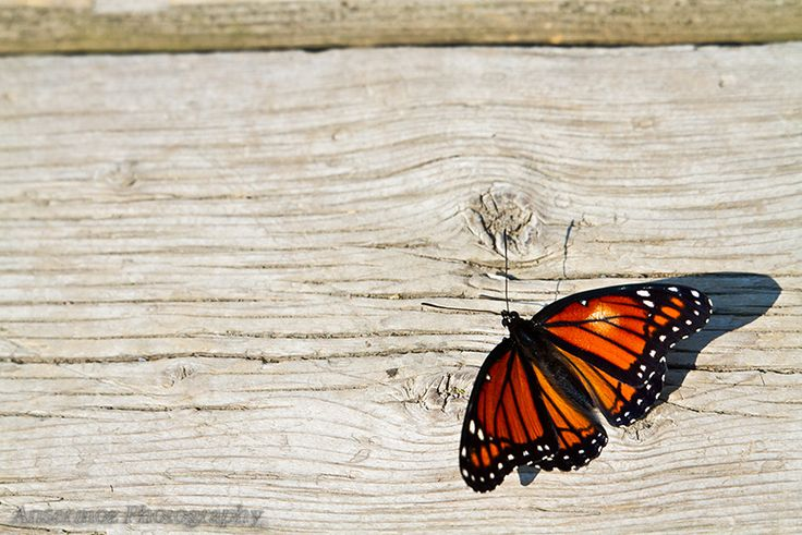 Monarch Butterfly, Ansermoz Photography on 500px.com!
