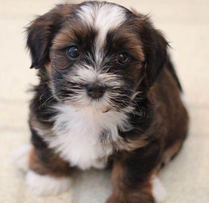 Baby Barks Bichon Shih Tzu Breeder. Shichon, Zuchon