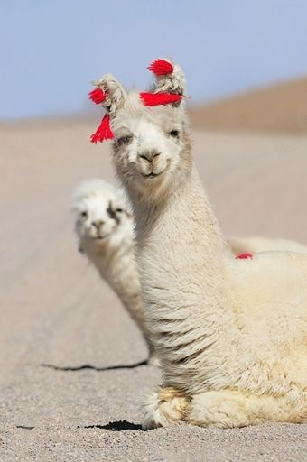 alpaca :)