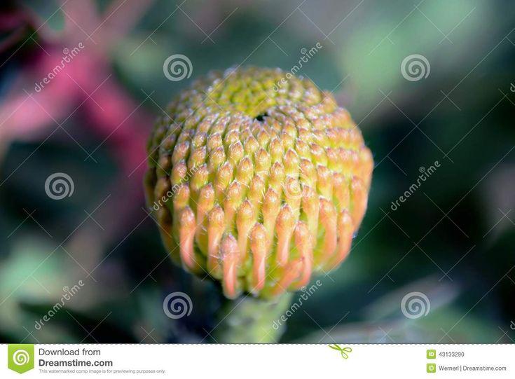 Pincushion Protea Bud stock photo. Image of green, flower - 43133290
