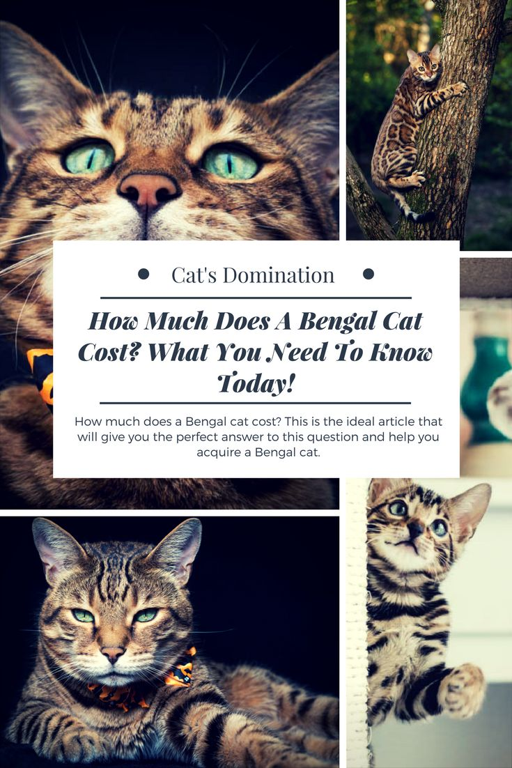 How much does a Bengal cat cost? This is the ideal article that will give you the perfect answer to this question and help you acquire a Bengal cat.