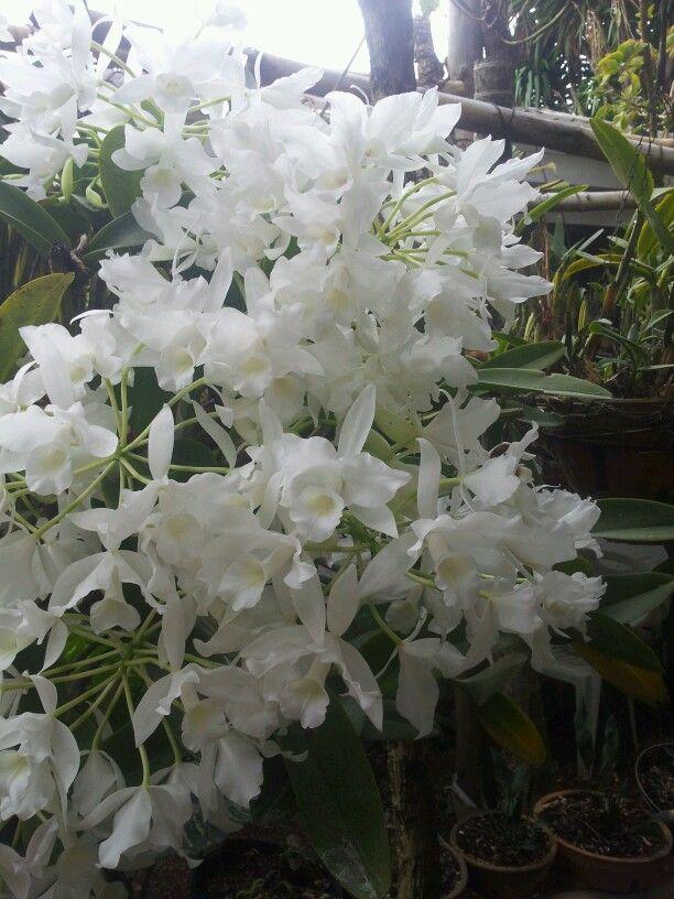 Popularmente se llama guaria blanca de las orqu deas de for Jardines de orquideas
