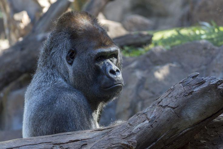 Gorilla in park, not so happy.