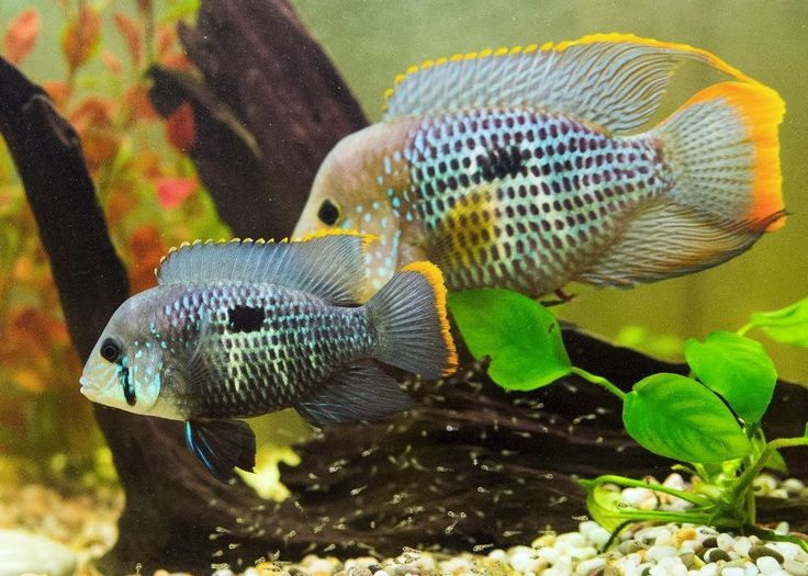 green terror cichlid male and female