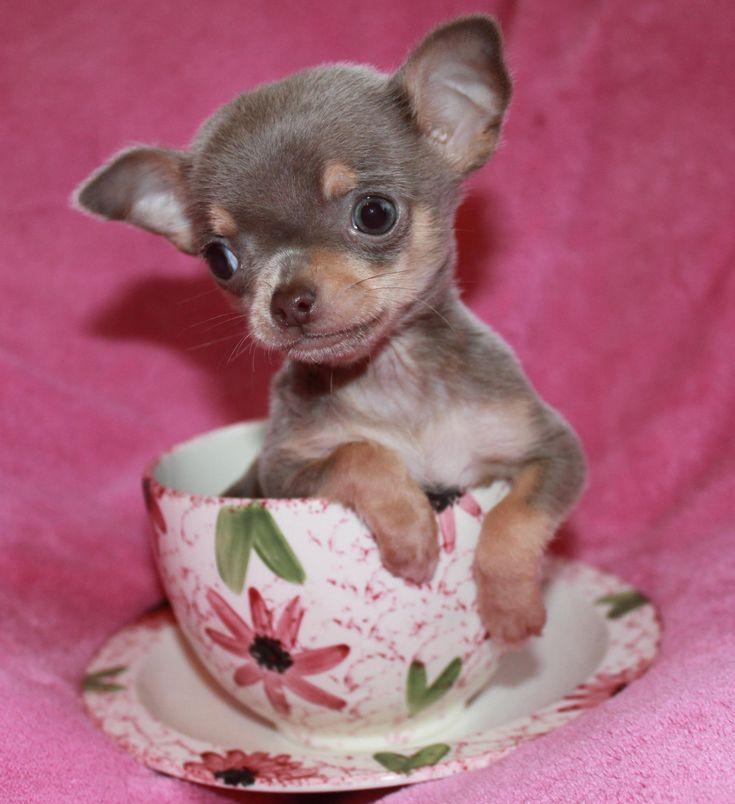 lilac chihuahua . #teacup_chihuahua_for_sale