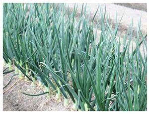 как вырастить лук севок (300x229, 30Kb)