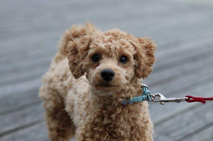 poodle walking at Docklands, vic