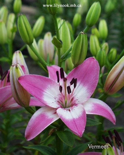 how to cut back lilies