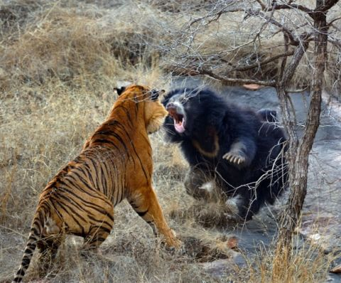 battle between a tiger and a bear is captured by wildlife photographer Aditya Singh during a visit to Ranthambhore Tiger Reserve in Rajasthan, India