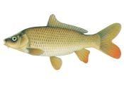 Image of common carp