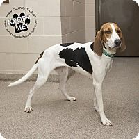 Coonhound Mix Dog for adoption in Troy, Ohio - Daisy