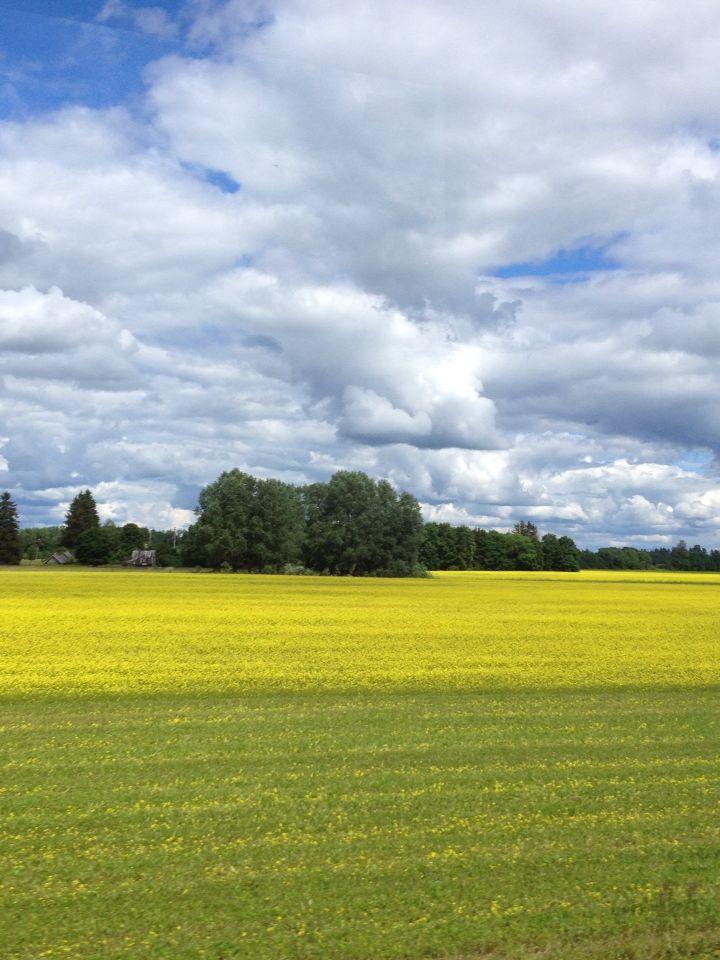 Canola field in Estonia