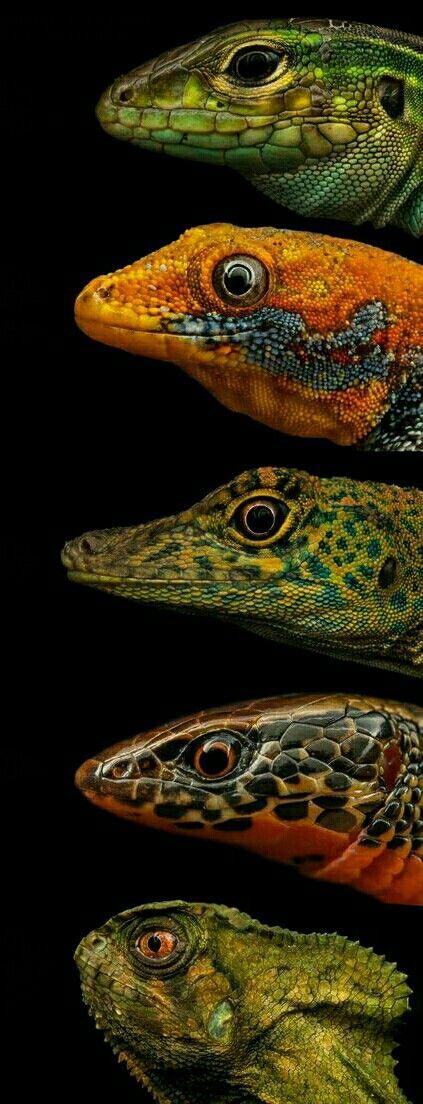 Lizard showcase2