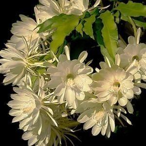 dama da noite branca cactus orquídea epiphyllum oxypetalum