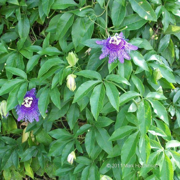 89 best florida flowers images on pinterest