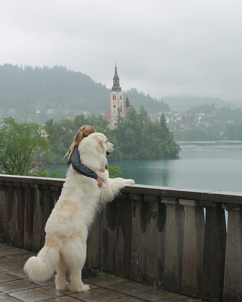 Great Pyrenees on lake Bled