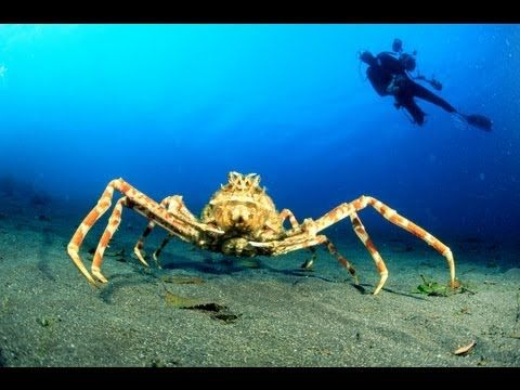 World's Biggest Crab - Japanese Spider Crab - YouTube