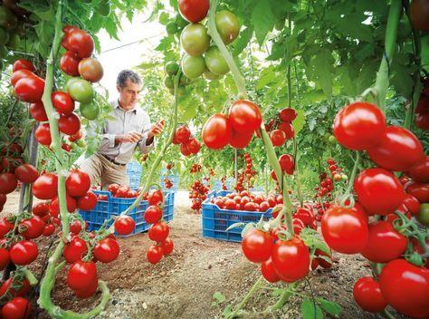 Como Cultivar Tomate La guía completa paso a paso para cultivar nuestros mejores tomates, con vídeos específicos que nos ayudaran con su cultivo en casa