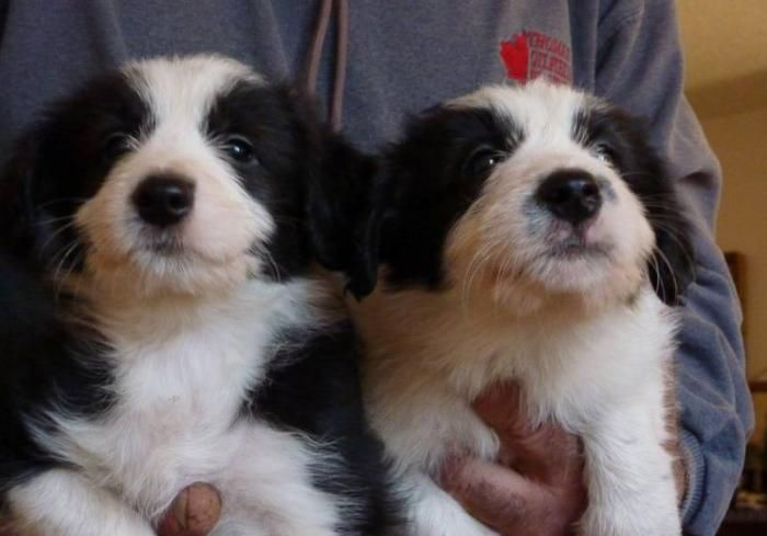 Poodle Border Collie Cross Puppies! I want a poodle but my partner wants a Boarder Collie but I'm allergic so a combo is perfect!