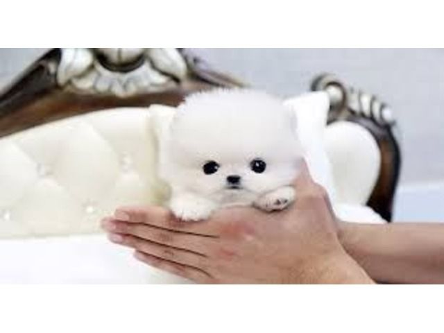 White Teacup Cheap Pomeranian Puppies For Sale In Usa And Canada