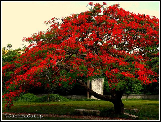 Flamboyant/Royal Poinciana tree (Delonix regia)