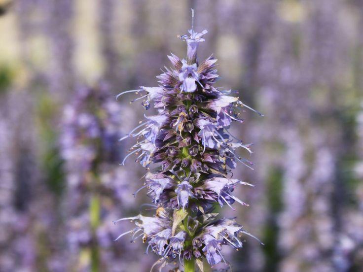 Die Besten 17 Bilder Zu Blaue Blumen Auf Pinterest | Rittersporn ... Duftpflanzen Im Garten Blumen Krauter