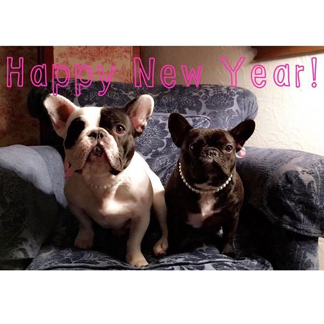 Happy New Year! 🎊🎈🎆 Its been a great 2016! Hope everyone has a great 2017! 🎉 Odelia and Alice, French Bulldogs, @odelia_and_alice on instagram #2017 #newyear #happynewyear #2016 #frenchbulldog #frenchiesofinstagram #frenchie