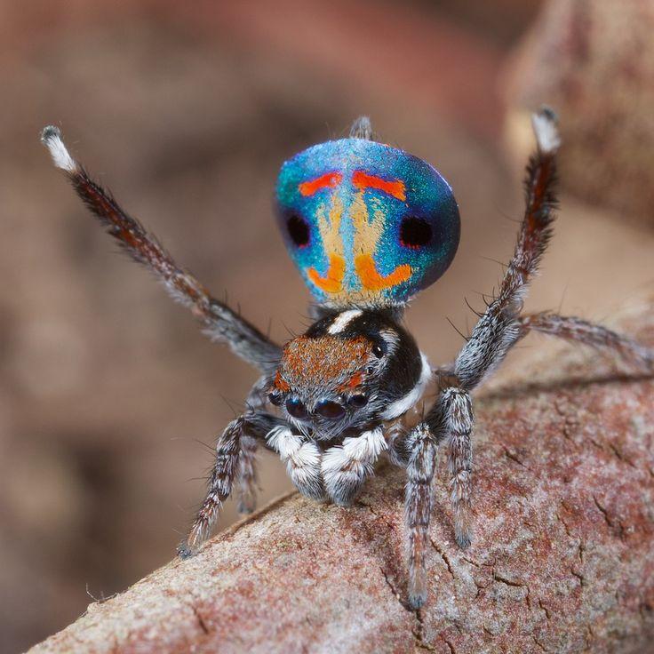 Les araignées paon sauteuses araignee paon 08 video technologie photo information bonus