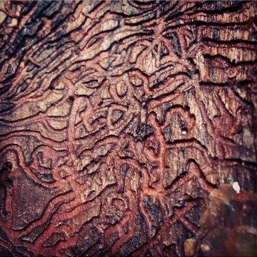 Bark Beetle tribal tattoo. Lena Losciale. Walk in Beauty. Sweden.