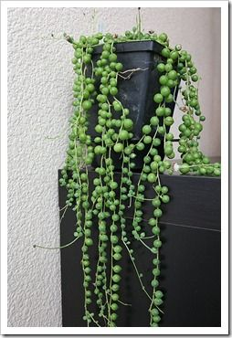 """Great House Plant: Senecio Rowleyanus (String of Beads; String of Pearls) ~ Succulent needing bright light but little water. Gorgeous hanging plant as it grows trailing long """"strings."""" Easy to propogate ~ just lay a string across soil and it will root. (My favorite plant.)"""