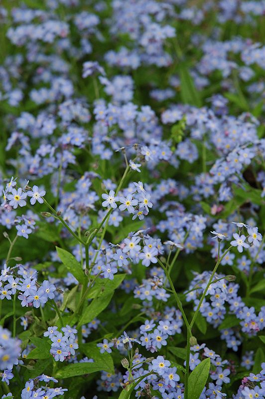 Click to view full-size photo of Forget-Me-Not (Myosotis sylvatica) at Plant World